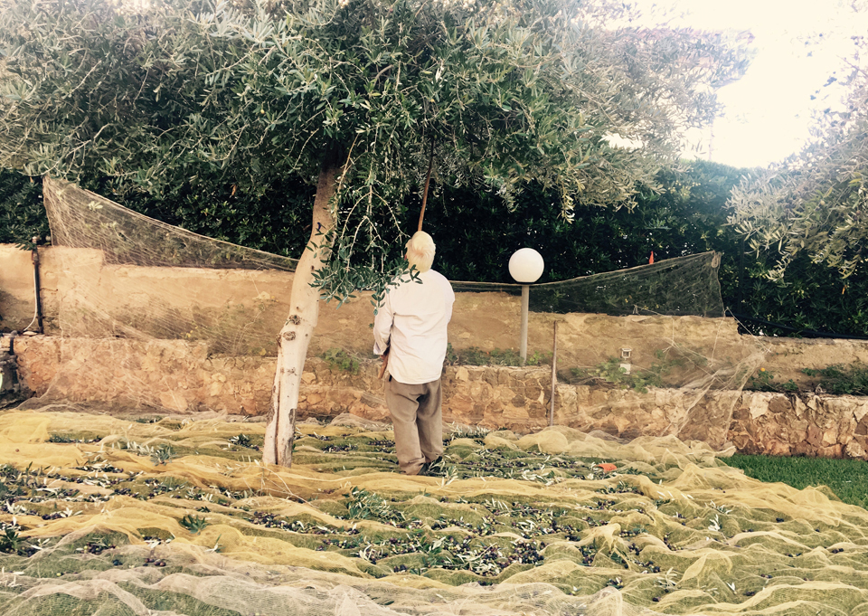 Picking olives by shaking the branches
