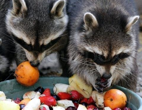 Raccoons and meal prep