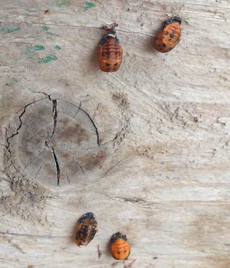 Pupa larvae, 7-spot ladybug
