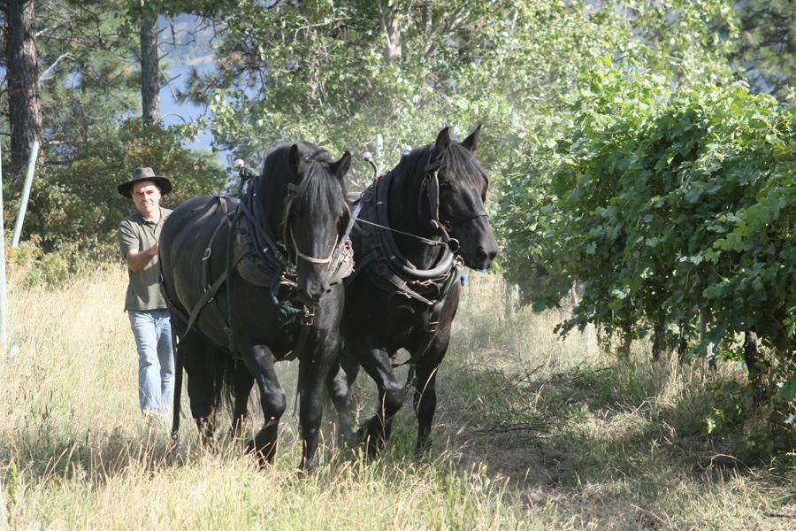 Vineyard Work with Draft Horses